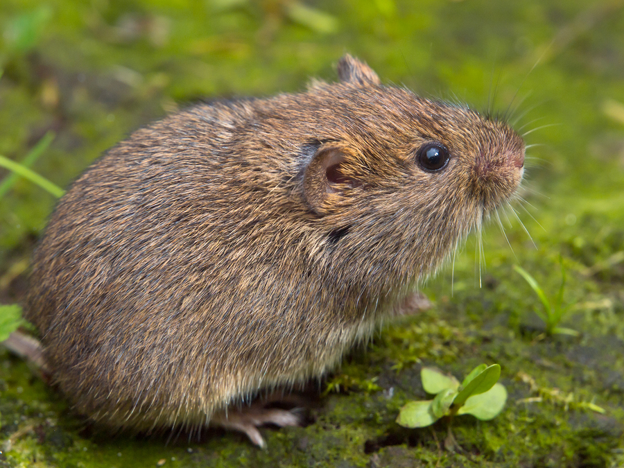 Voles Yard Removal Raleigh Critter Control Triangle
