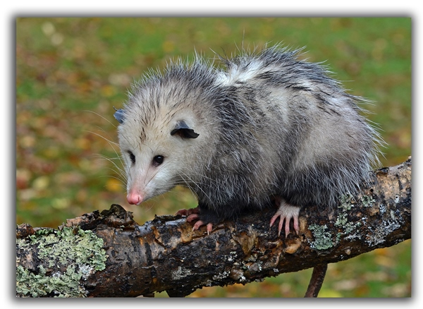 opossum raleigh removal critter control