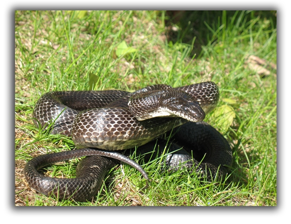 snakes raleigh removal critter control