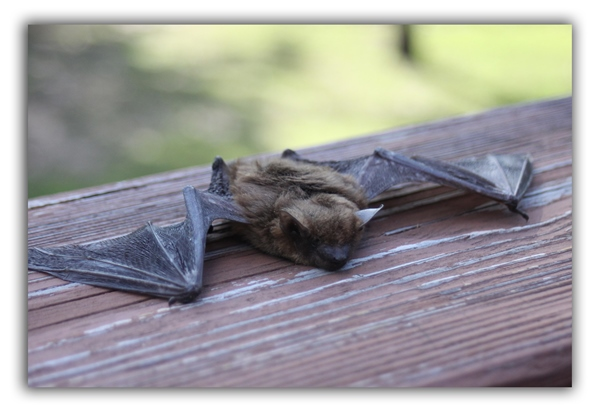 bats raleigh removal critter control