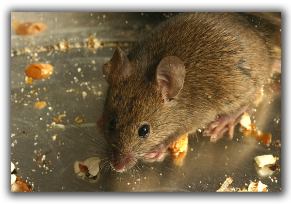 raleigh removal critter control mouse