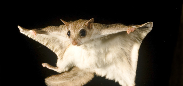 Southern Flying Squirrels The Most Common Rodent You Ve