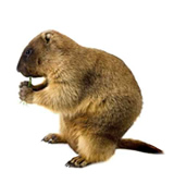 groundhog removal raleigh