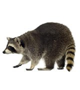 raccoon removal raleigh