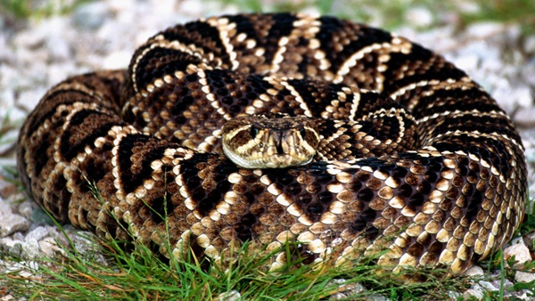 Rattlesnakes In North Carolina And Raleigh Critter